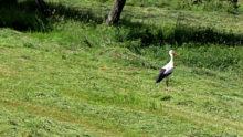 Erneut Storch in Schmissberg gesichtet