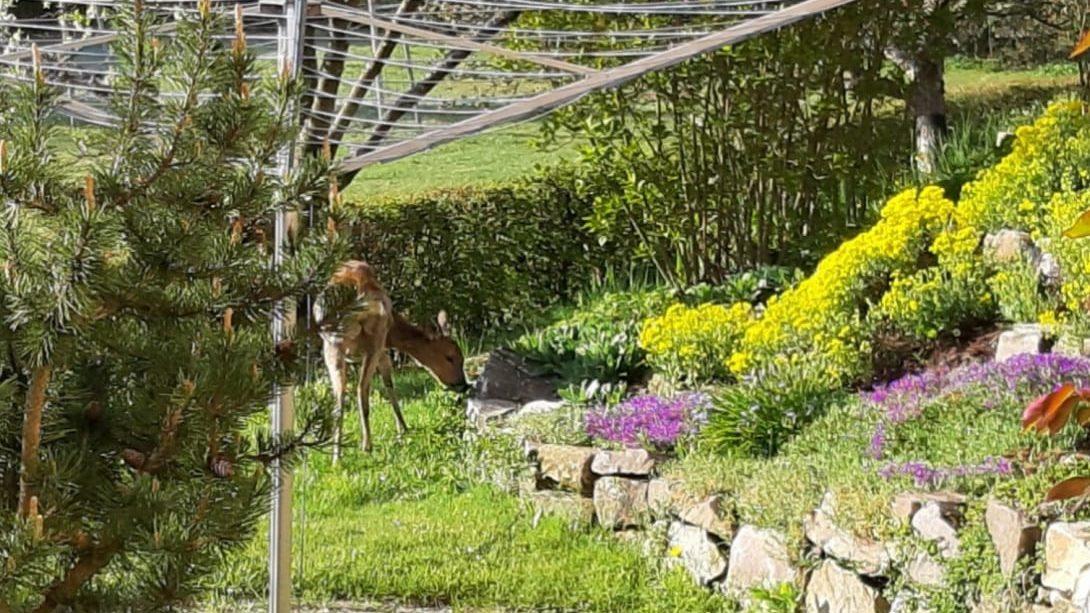 Ein Reh läuft bei Ortsbürgermeister Rudi Weber durch den Garten.