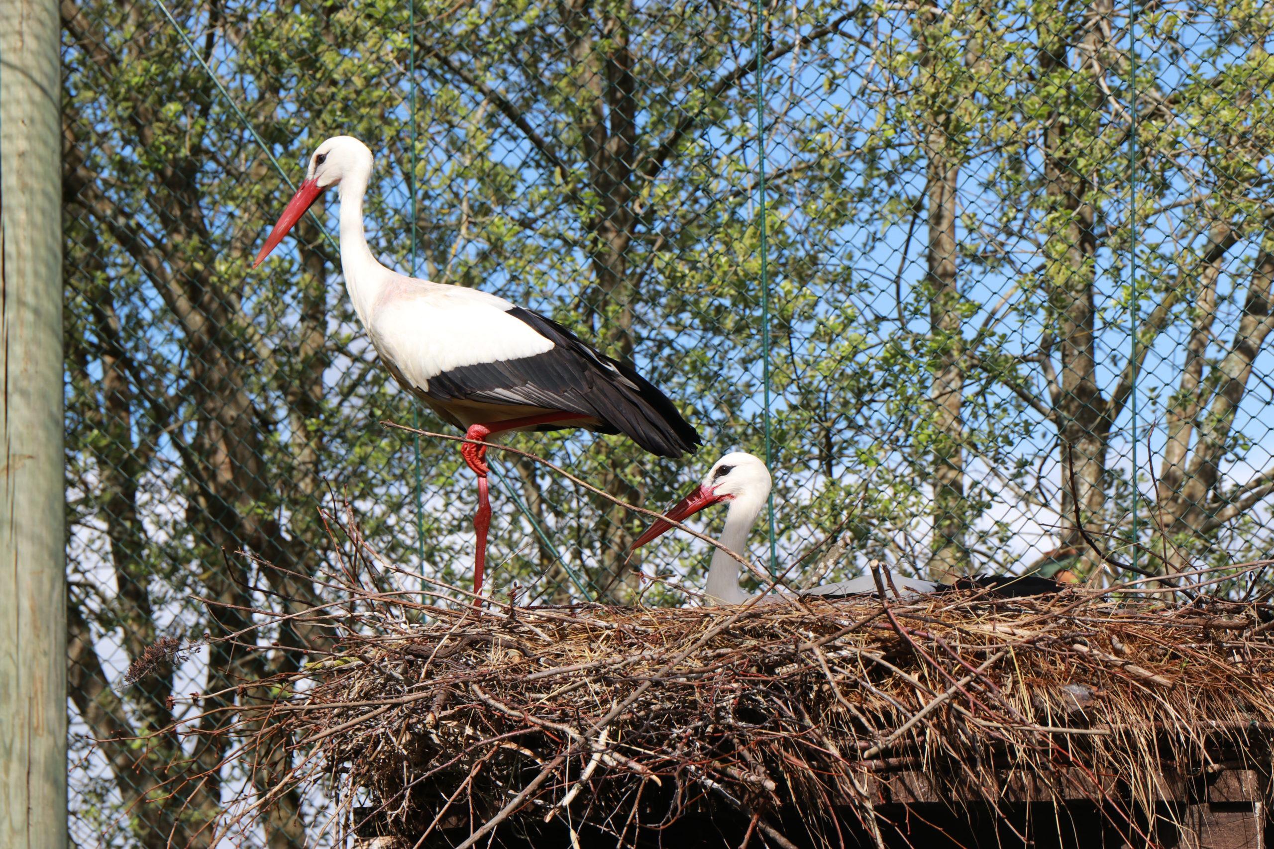 Medieninteresse an Storchenbabys groß: Die Störche Lotte und Bernie sitzen auf ihrem Nest und bewachen ihre Küken.